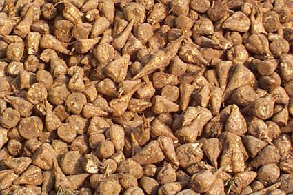 Sugar Beet Seeds Market