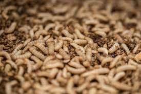 Insect Protein Feed